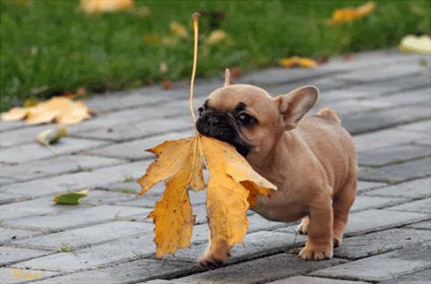 French Bulldog Puppy!